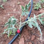 Orchard drip irrigation system for water melon