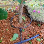 Irrigation system for avocado fruit at Arimi Farm in Njoro