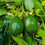 avocado fruit tree in the farm